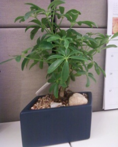 The $11.97 Bonsai Plant from The Home Depot